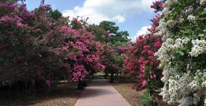 Abuse-free crape myrtles offer lots of beauty in bloom