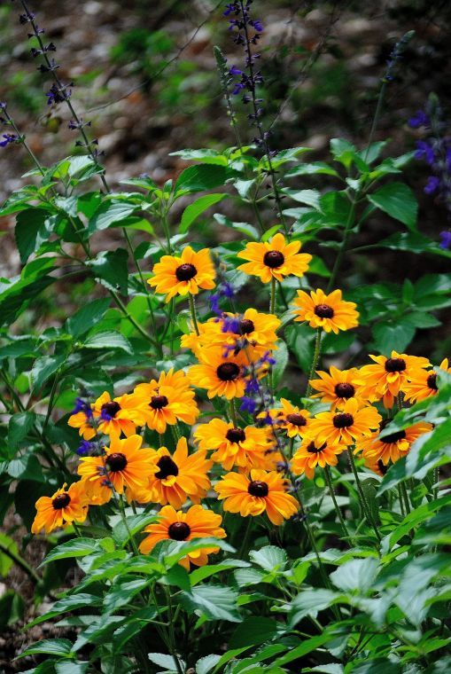 Tiger Eye Gold rudbeckia