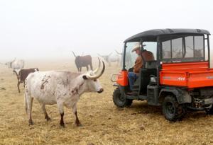 Retired couple raises longhorns