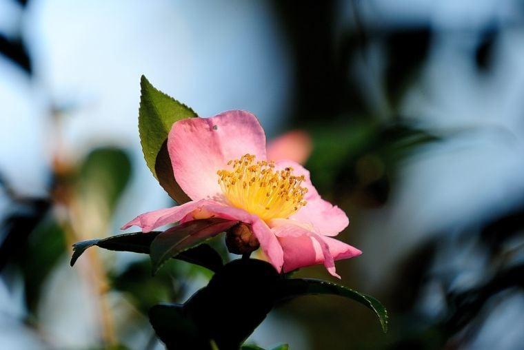Hybrid camellias