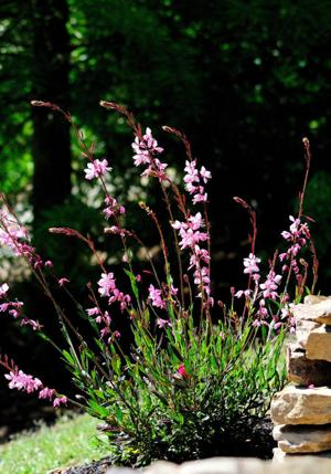 Pink Fountain gaura