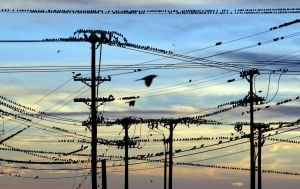 Grackles take over powerlines and sky