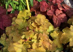 Heuchera: Fabulous foliage, flowers attract hummingbirds