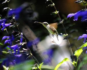 A hummingbird with Black and Blue salvia