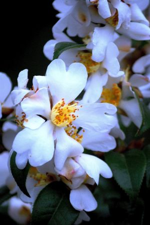Gardening: The clustered camellia produces hundreds of glistening white flowers that yield a tantalizing fragrance. (MCT) - HANDOUT