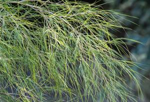 <p>Bamboo muhly leaves are thread-like and catch the slightest breeze, swaying or dancing with perpetual motion. (Handout/TNS)</p>