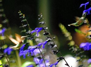 Two hummingbirds with salvia