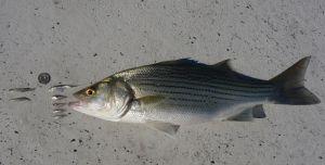 Labor Day fishing forecast