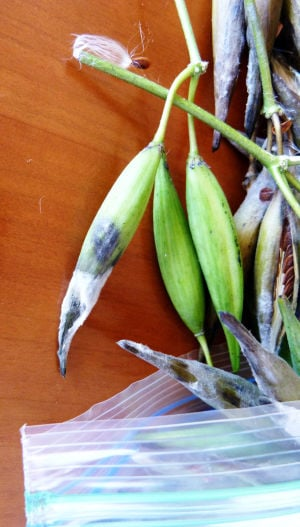 Storing Seeds: Storing green seed pods in plastic bags could cause them to mold and rot. - Darla Horner Menking | Herald