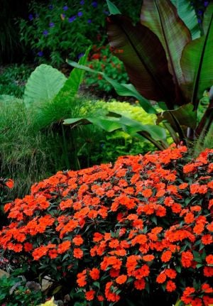 SunPatiens: These Compact Orange SunPatiens were planted in late April and have been blooming for more than 150 days. - Photo by Handout