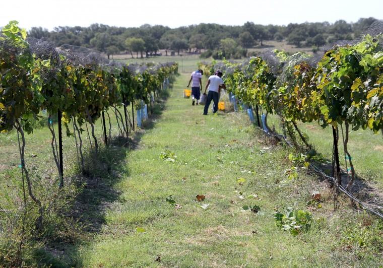 Vinyards at Florence-Inwood wineries 8.jpg