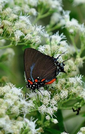 <p>This Great Purple Hairstreak finds the common boneset to be the perfect place for a feast.</p>
