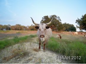 SERENITY....This 32 acre TEXAS LONGHORN RANCH consists of 32 acres