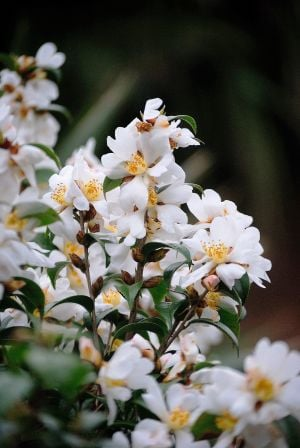 Showy blooms offer tantalizing fragrance in the garden