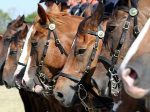 Horses from the 1st Cavalry Division Horse Detachment