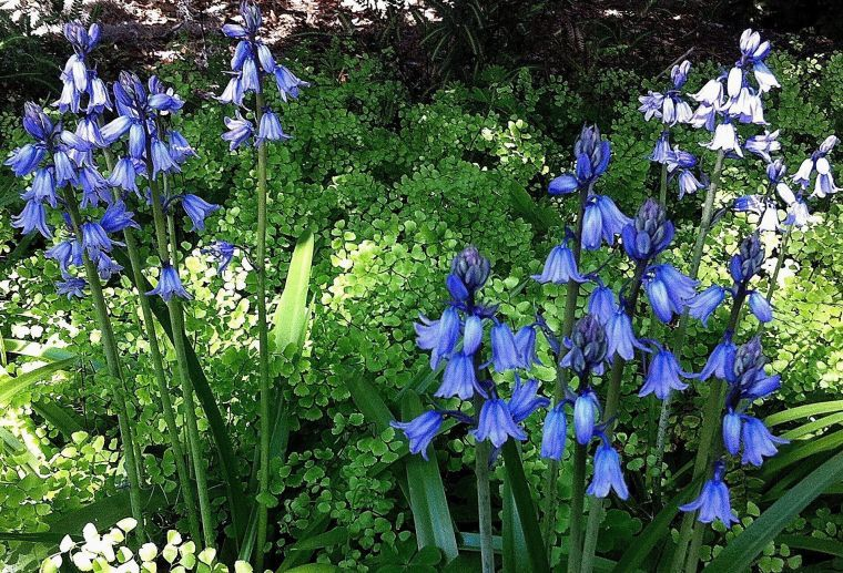 Spanish bluebells and Southern maidenhair ferns