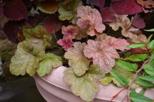 Fancy foliage of heucheras