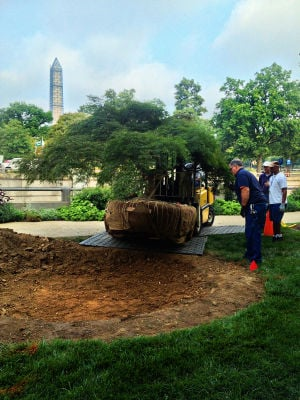 GARDENING: The Smithsonian's overgrown Japanese maple was moved successfully while still in leaf; the larger the tree, the more likely special equipment will be needed to dig and move it. - Photo by Janet Draper | Smithsonian Institution