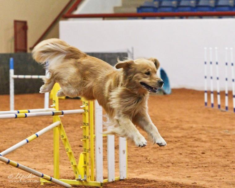 Dog agility trials