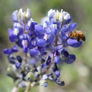 Communities - Texas Bluebonnet