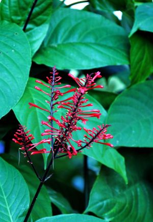 Firespike: The firespike produces deep red tubular blossoms that are loved by both hummingbirds and butterflies. - MCT | Handout