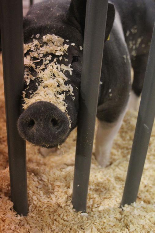 LivestockShow17.jpg