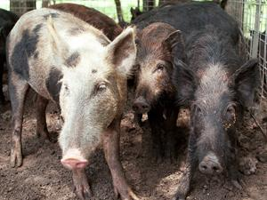 Bill makes aerial hog hunting easier for sportsmen