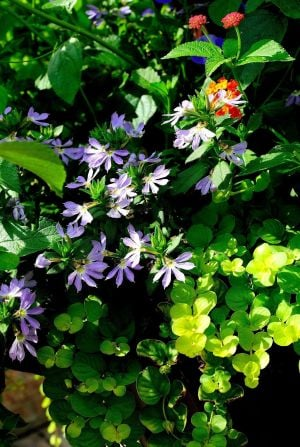 Surdiva Light Blue scaevola