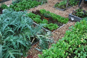 "GARDENING: Adrian Higgins' community garden vegetable plot in Washington illustrates the two essential elements in a garden: ""form"" and"