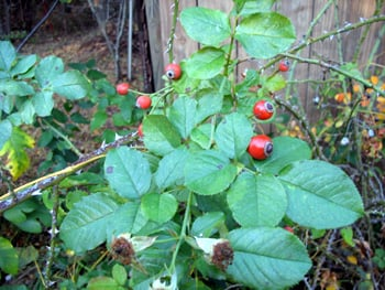 Rose hips can be harvested for food