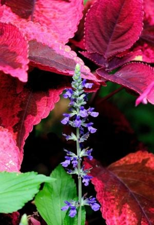 Mariposa coleus with Mystic Spire Blue salvia
