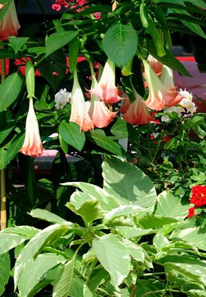 Angel's trumpets heralding across the South