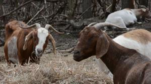 Garden goats
