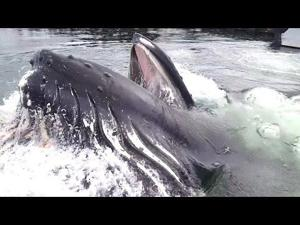 Watch a Humpback Whale Surface Right in Front of You