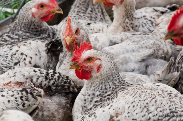 Avian flu summit opens today in Des Moines