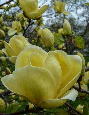 Magnolia 'Centennial'
