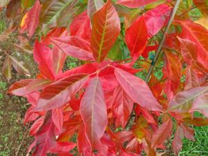 landscape Afterburner Tupelo leaf.jpg