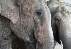 Elefantendamen-1.jpg