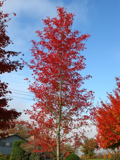 landscape Afterburner Tupelo Tree.jpg