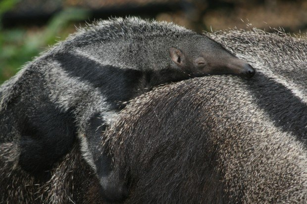 anteater