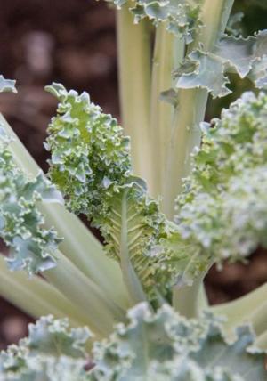 Dwarf Blue Vates Curly Kale