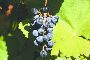 spicy-grapes_0127.jpg
