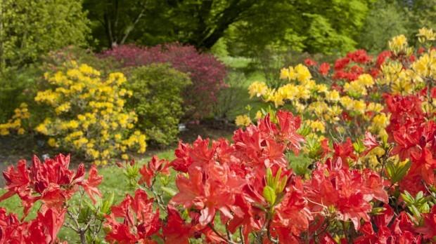 Kew Azalea garden in spring