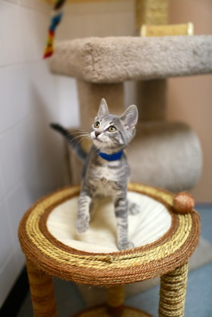 APA Kitten