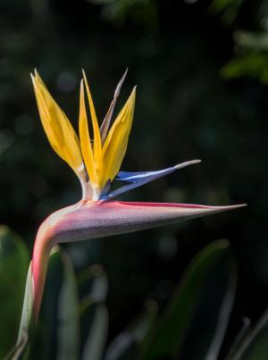 Strelitzia reginae or Bird of Paradise.