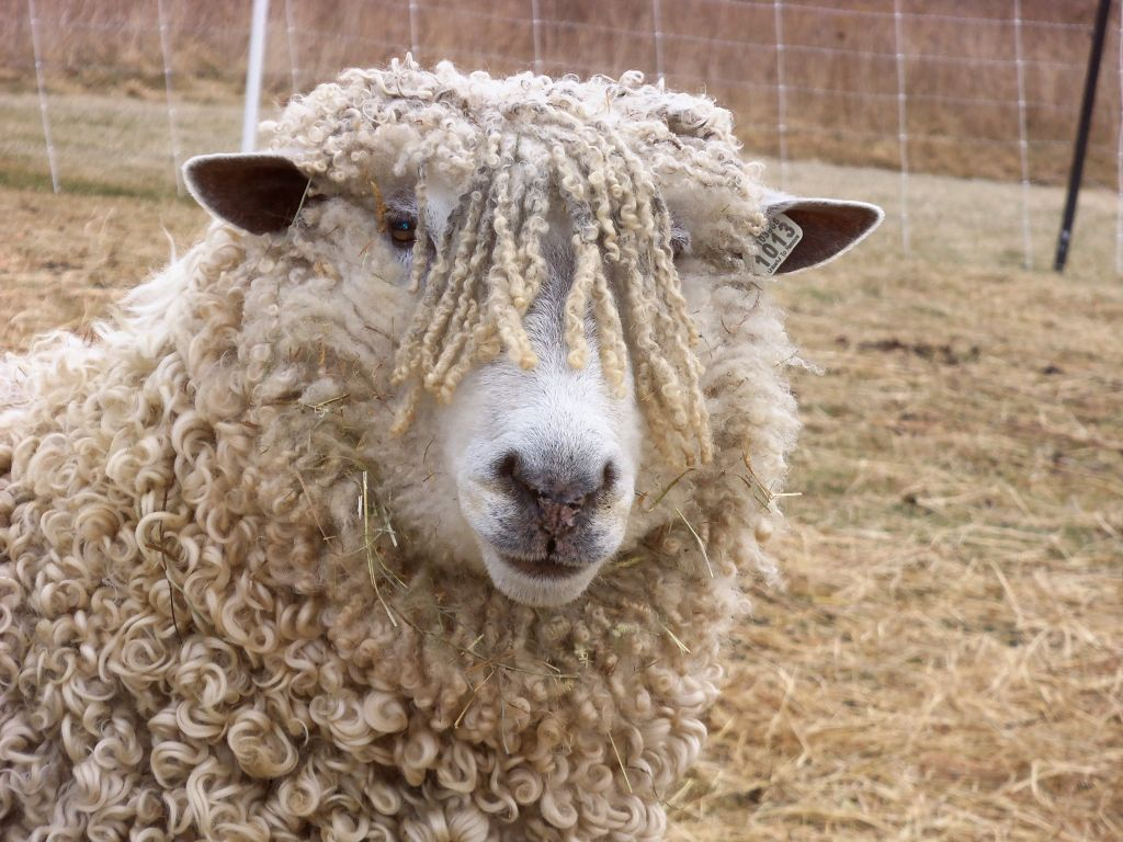 Sheep An Alternative To Mowing Cover Crops Soil Health