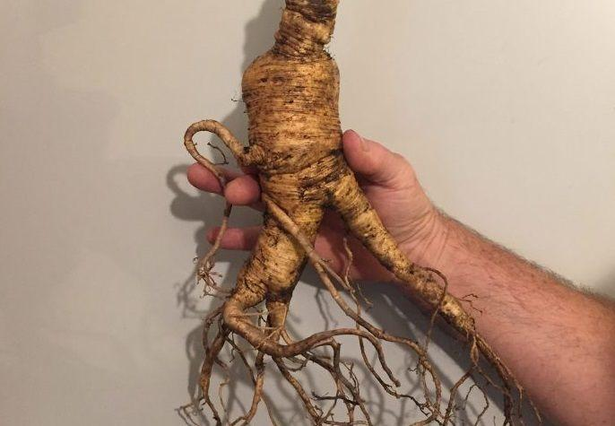 Giant Ginseng Dug In Maryland Could Be World S Largest