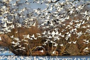 Migrating flocks of snow geese and their fans return to Middle Creek