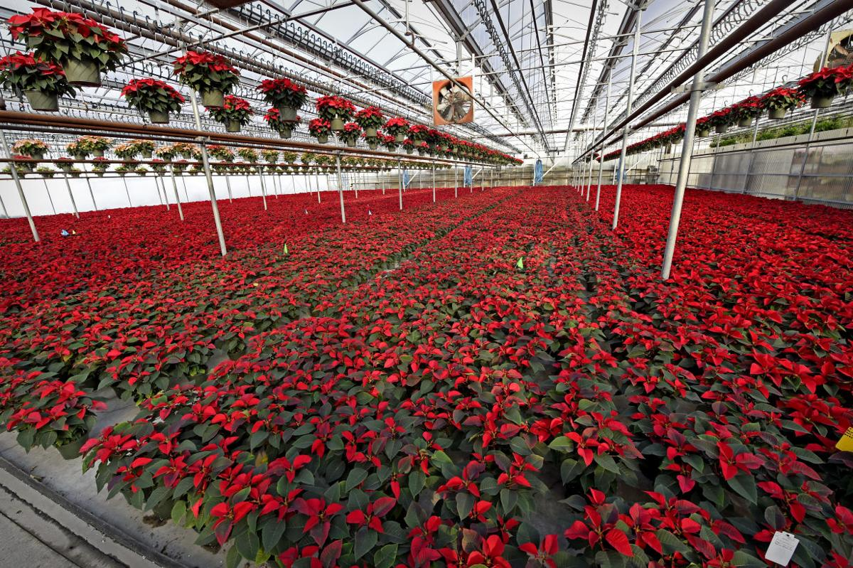 A Look Inside The Poinsettia Greenhouses Of Lancaster County Home Garden