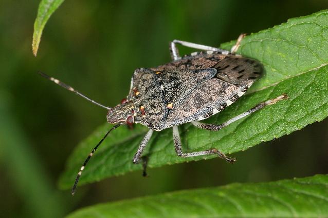 The Goods On Home Improvement Box Elder Bug Stinkbug